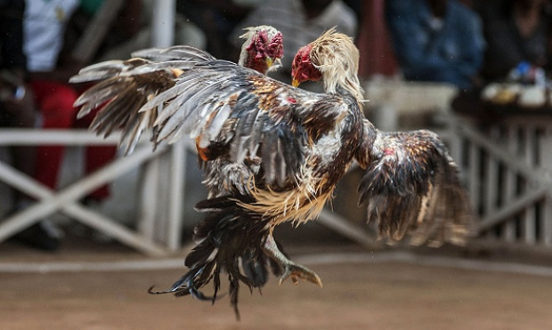 S1288 Tempat Main Sabung Ayam Online