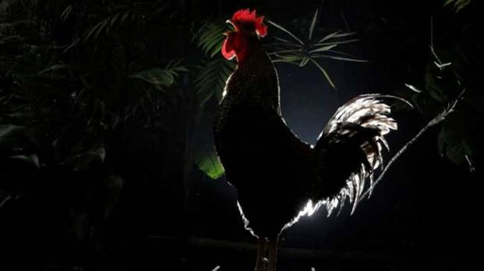 Sabung Ayam S128 yang Ramai